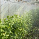 Секреты выращивания огурцов в теплице