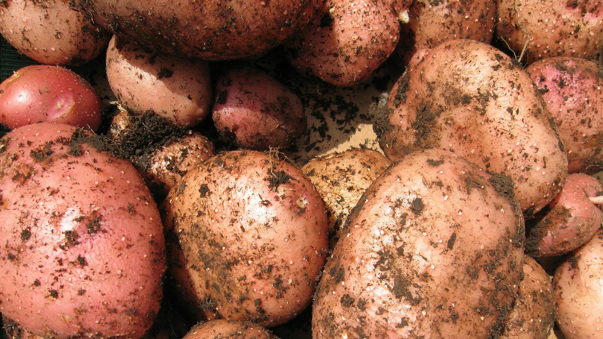 [Картофель семена в домашних условиях