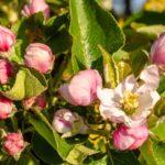 Как вырастить яблоню на садовом участке?