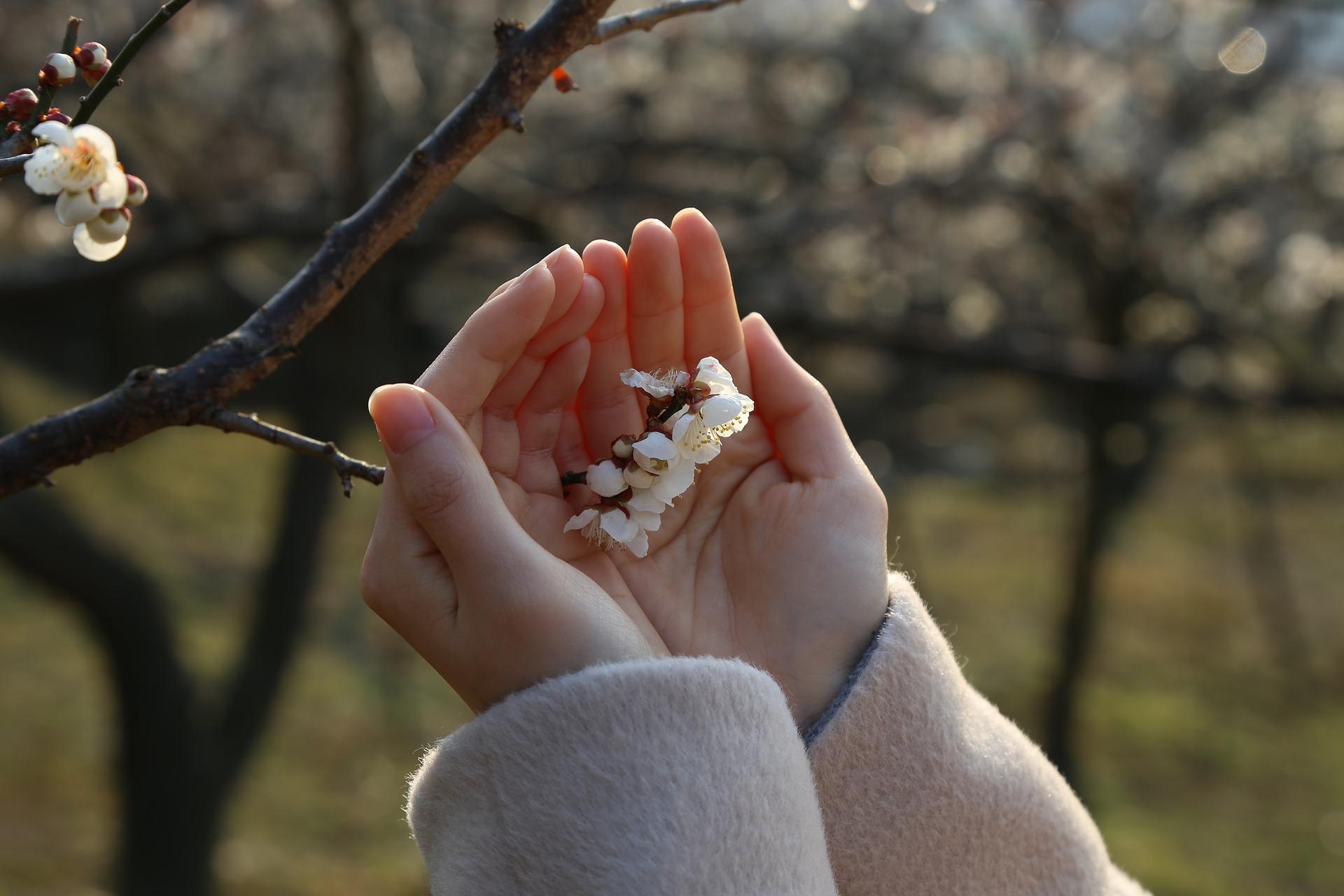 Сочные и ароматные сорта алычи для дачи