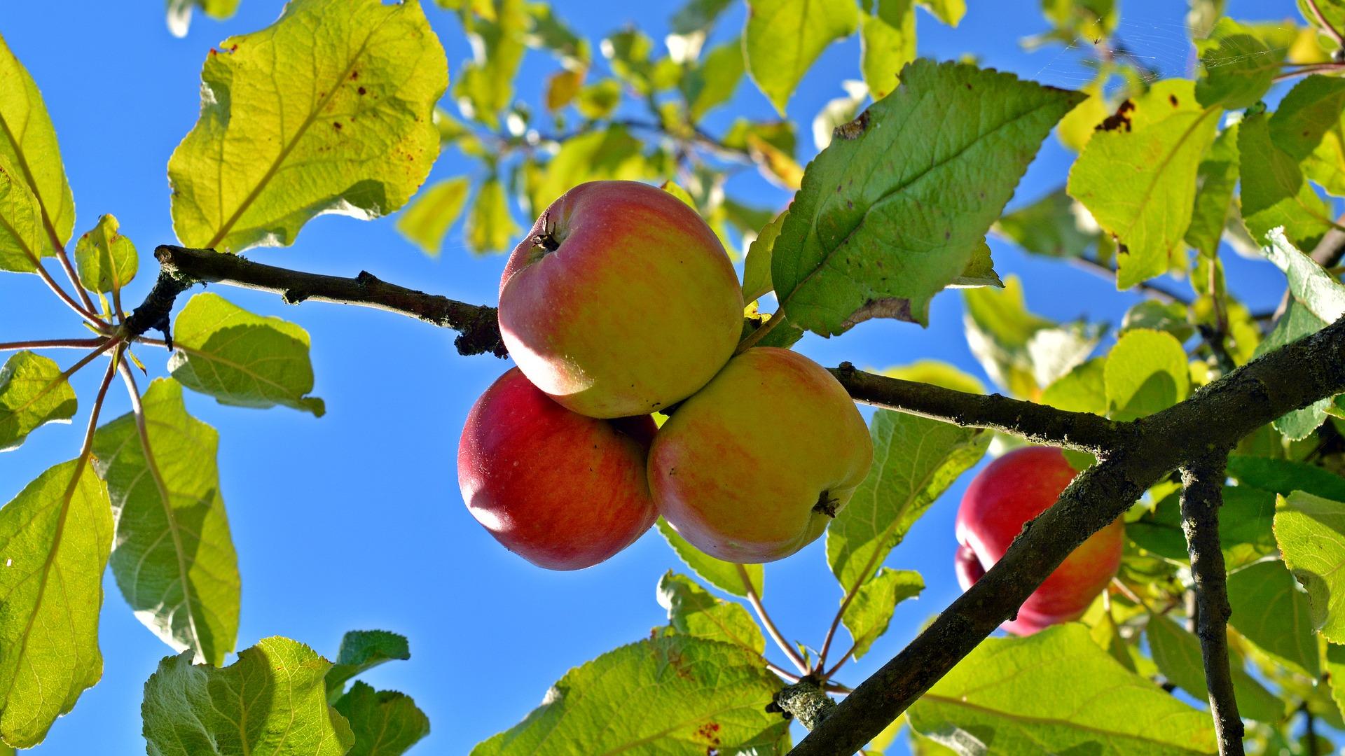 Какие сорта яблонь лучше сажать в подмосковье