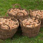 Как нужно сажать картофель? Секреты хорошего урожая.