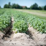 Как правильно окучивать картофель и зачем это нужно?