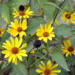 Употребление топинамбура — польза и вред для организма
