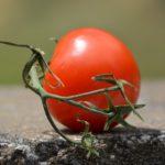 Сорт томатов «Белый налив» — описание и отзывы