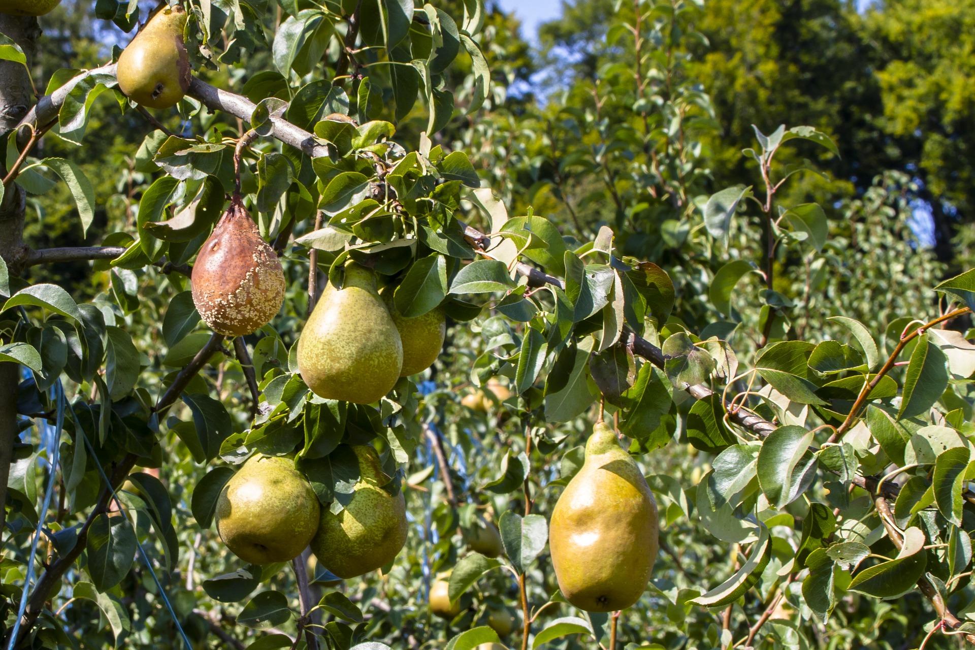В июле может возникнуть проблема в виде желтоватых, рыжих и бурых пятен на листьях
