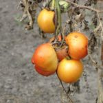 Что делать, если чернеют помидоры? Почему это происходит?