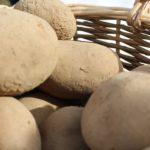 Почему картошка мягкая при выкапывании?