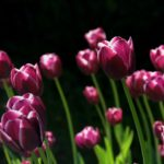 Когда и как сажать тюльпаны осенью?