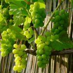 Подготовка винограда к зиме. Что нужно знать?