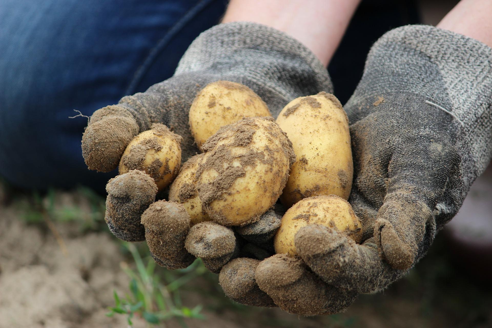 почему картофель трескается в земле фото