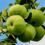 Как лечить яблоню в саду?