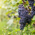 Обрезка винограда весной, летом и осенью. Что нужно знать?