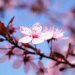 Обрезка вишни весной, летом и осенью. Полезные советы.
