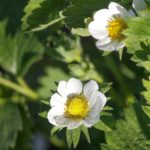Правильная обрезка клубники весной, летом или осенью