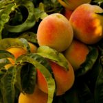 Как приготовить варенье из персиков? Правильные рецепты.