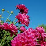 Когда пересаживать пионы — весной или осенью?