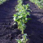 Как вырастить картофель из семян?