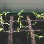 Как вырастить помидоры в теплице?
