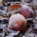 Какие зимние сорта яблок лучше всего сажать?