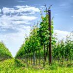 Как сохранить черенки винограда до весны?