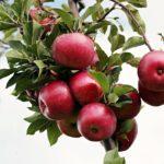 Какие сорта яблонь лучше сажать в Подмосковье?