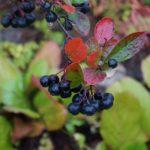 Черноплодная рябина: польза и противопоказания