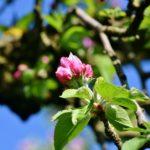 Как делается обрезка молодых яблонь?