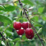 Своевременная посадка вишни: весна или осень?