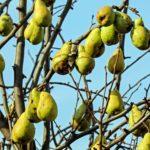 Как нужно прививать грушу весной?