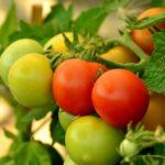 Поговорим об урожайности помидоров