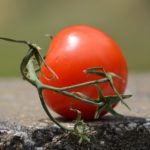 Сорт томатов «Белый налив» – описание и отзывы