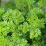 Как вырастить петрушку на огороде и в домашних условиях?