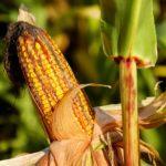 Употребление кукурузы в пищу — польза и вред
