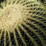 Растим эхинокактус в домашних условиях