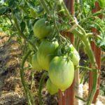 Грамотное пасынкование дачных томатов