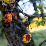 Что делать, если яблоки гниют на дереве?