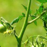 Почему желтеют листья у помидоров?