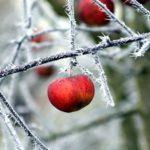 Утепление деревьев на зиму. Полезные советы.