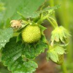 Чем подкормить клубнику осенью? Вносим удобрения.