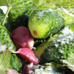 Как правильно засолить огурцы на зиму?