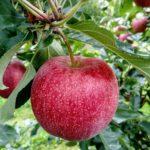 Как правильно посадить яблоню на участке?