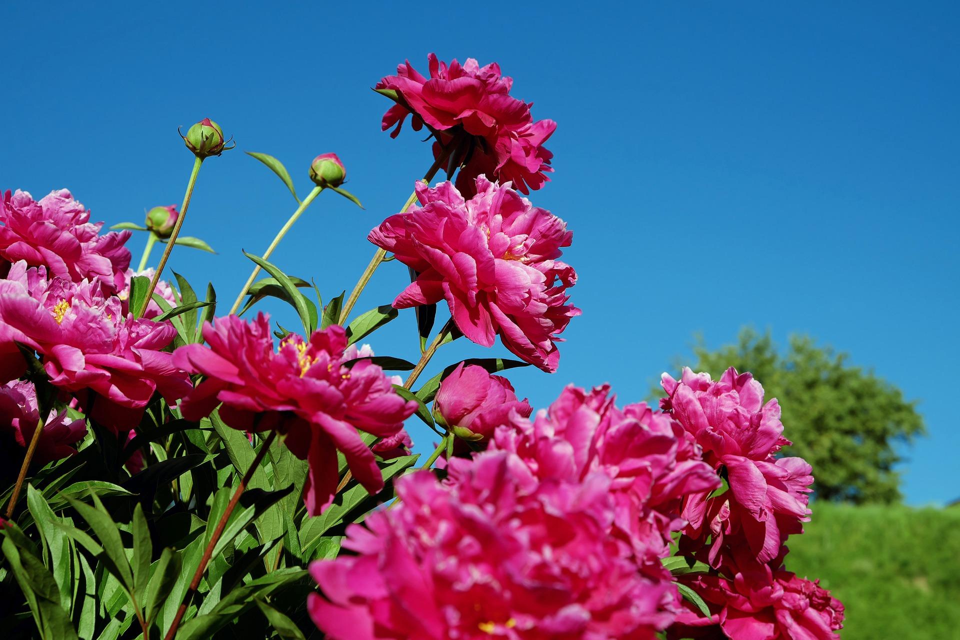 Когда пересаживать пионы – весной или осенью?