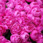 Почему не цветут пионы? Основные причины.