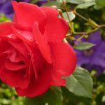 Почему не цветёт роза? Список возможных причин.