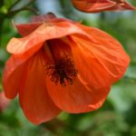 Абутилон – выращивание и уход в домашних условиях